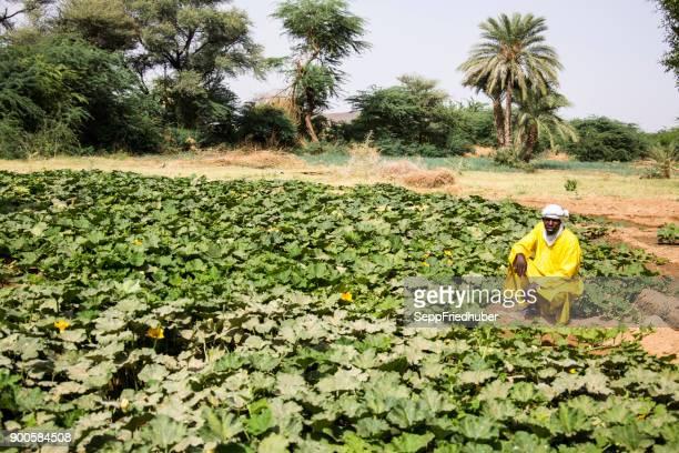 Culture de melon près d'Agadez Nige