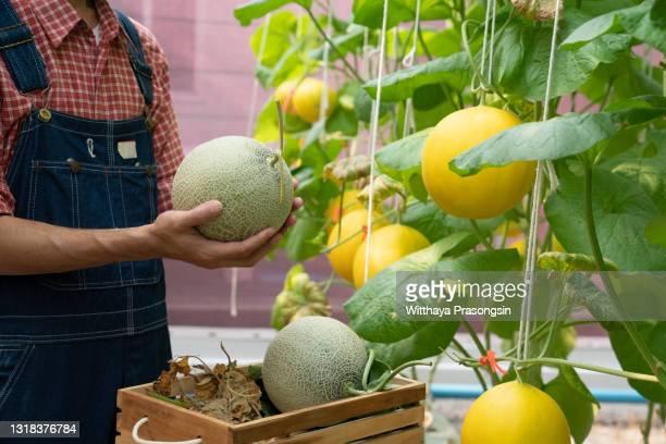 melons in the garden, yong man holding melon in greenhouse melon farm - moschus kürbis stock-fotos und bilder