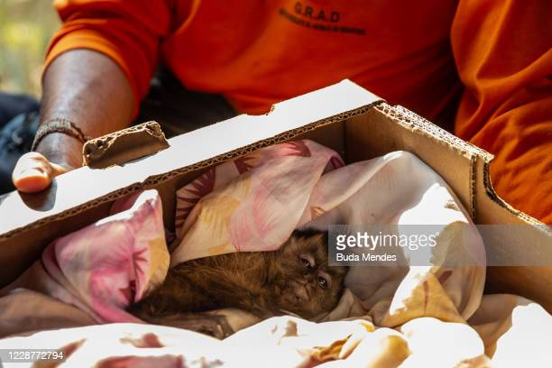Member of G.R.A.D takes care of a rescued monkey in Pantanal on September 24, 2020 in Pocone, Brazil. Pantanal is located mostly within the Brazilian...