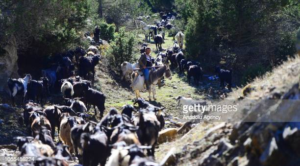 Member of Karakecili Yoruks is seen migrating in tough winter conditions with around 1200 goats at Banaz district on October 27, 2018 in Turkey's...