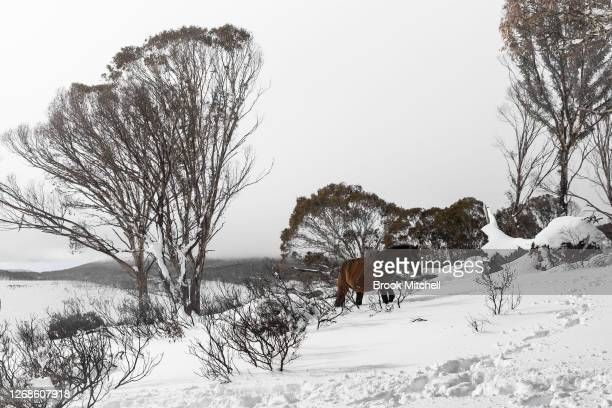 A member of of a small herd of Brumbies affectionally named 'the welcoming committee' by local horse watchers moves through deep snow in the Long...