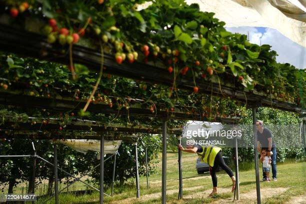 A member of staff checks a strawberry row is clear before allowing a family to enter in order to maintain social distancing at Lower Ladysden Farm in...