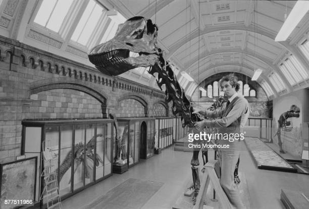 A member of staff from the Natural History Museum adjusting the skeleton of 'Dippy' the Diplodocus London UK 12th October 1978