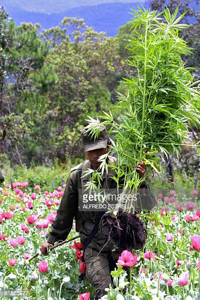 A member of the army takes a bunch of marijuana after cutting it off at San Vicente hills in Guerrero state Mexico on August 27 2002 Mexico is being...