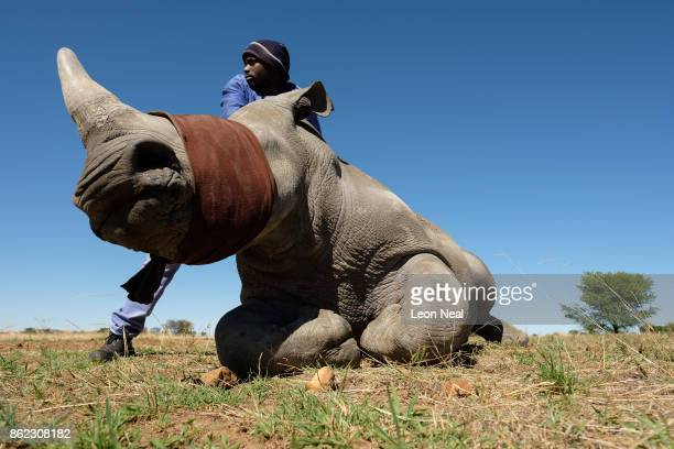 A member of the farm team stands with a sedated and blindfolded white rhino before it has it's horn trimmed at the ranch of rhino breeder John Hume...