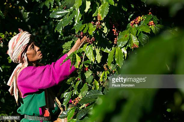 A member of the Lisu hill tribe picks Thai arabica coffee beans at the Thai High coffee farm on December 8 2012 in Phrao northern Thailand The...