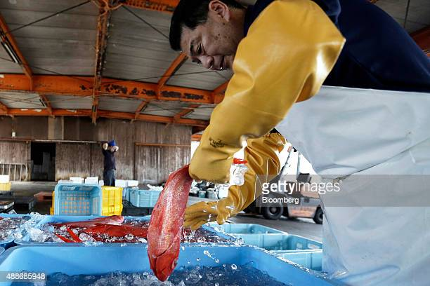 A member of the local fishing cooperative removes an alfonsino fish from ice water prior to be being packed into boxes for shipping at Inatori...