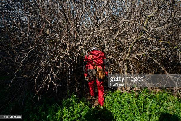Member of the Melphicta Kalipè caves group, a volunteer speleologist, crosses a fig tree to enter the cave, in Molfetta on February 6, 2021. The...