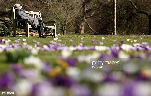 A member of the public admires the carpet of crocuses flowering in the Royal Botanic Gardens at Kew on March 15 2010 in London England The unusually...