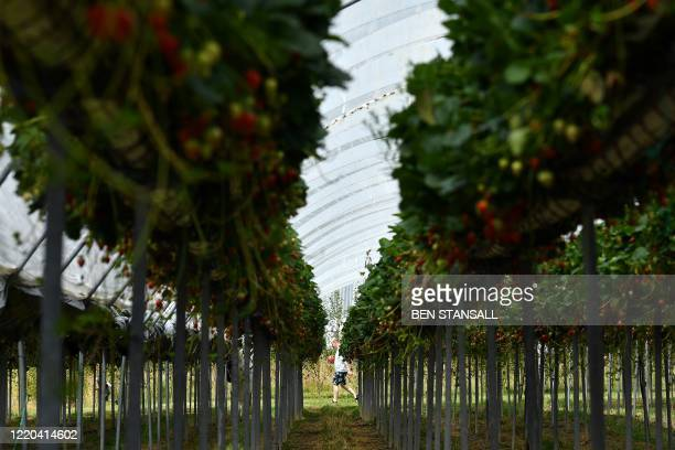 A member of the public carries a punnet of strawberries at Lower Ladysden Farm in Kent southeast England on June 16 2020 Lower Ladysden Farm are...