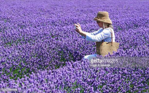 A member of the public enjoys the display of this season's English lavender prior to it being harvested at Roskorwell Farm at St Keverne on June 24...
