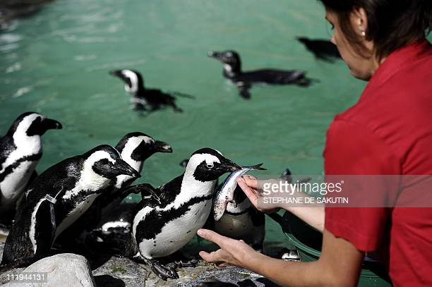 GERARDY A member of the SANCCOB feeds African penguin on March 15 2011 in Cape Town Africa's only nesting penguin was reclassified as endangered last...