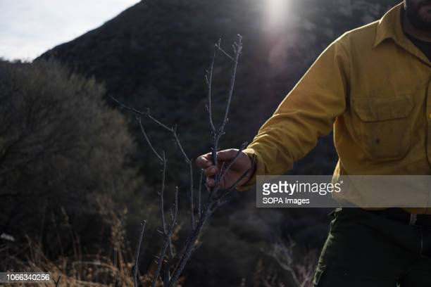 A member of The Scorpions examines charred tree branches caused by Woolsey Fire The team clears breaks in brush in efforts to prevent Woolsey Fire...