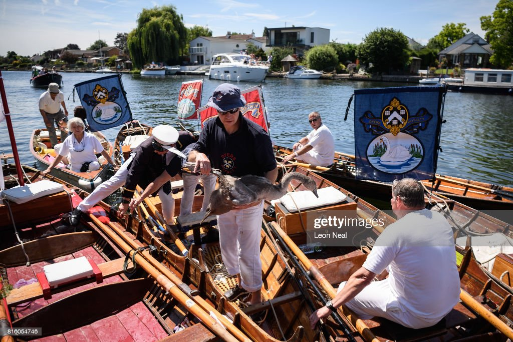 A member of the swan upping team carries a cygnet from one of the skiffs during the annual Swan Upping census on July 17, 2017 on the River Thames, South West London. The historic Swan Upping ceremony dates back to the 12th century, to when the Crown claimed ownership of all Mute Swans and they were eaten at banquets and feasts. The Sovereign's Swan Marker, David Barber, counts the number of young cygnets on the river each year and ensures that the swan population is maintained. The swans and young cygnets are also assessed for any signs of injury or disease. A Mute Swan is measured before being released back onto the river during the annual Swan Upping census on July 14, 2014 on the River Thames, South West London.