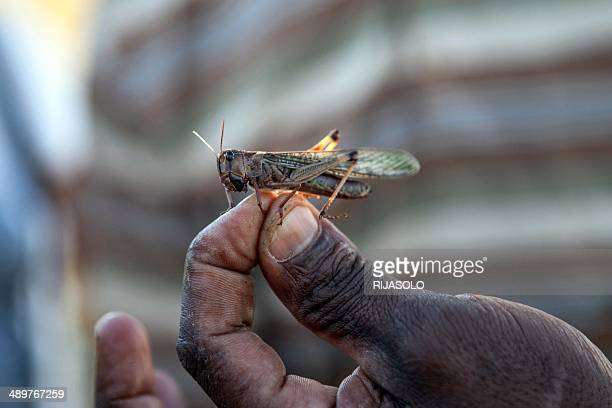 A member of the technical team of the Food and Agriculture Organization of the United Nations holds a locust at a FAO camp on May 7 2014 in...