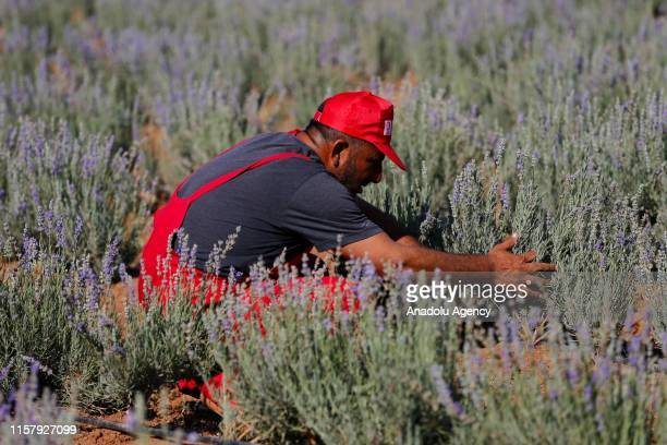 A member of the Turkish Red Crescent harvests lavender in a field in Turkey's southeastern Mardin province on July 26 2019 Lavender was harvested in...