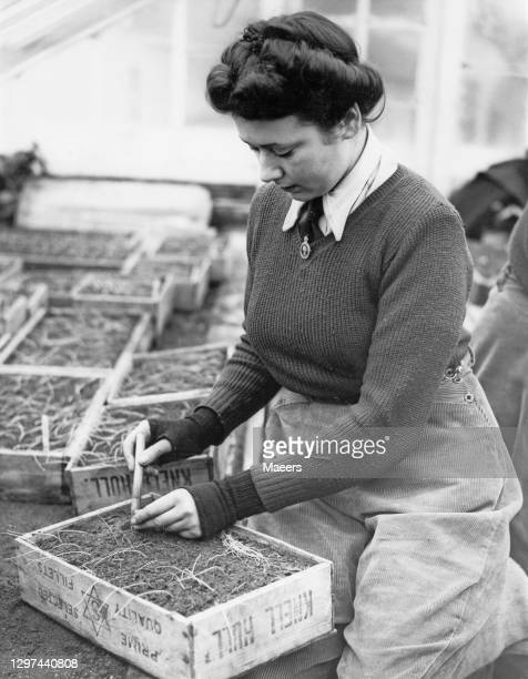 Member of the Women's Land Army hand picking onion plants that had been grown from seed on 7th February 1942 at the Coronation Greenhouses in...