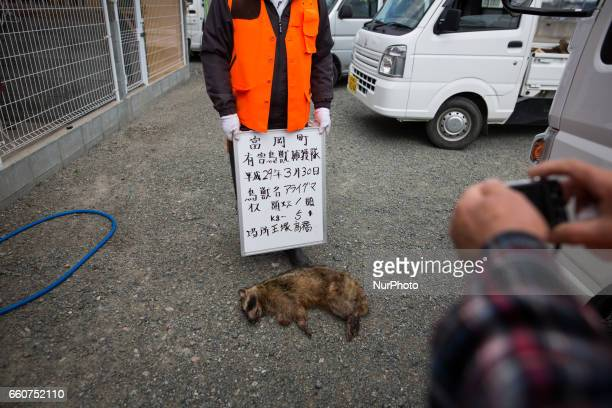 Member of Tomioka town's animal control hunters takes photo of a killed raccoon for record at a residential area near Tokyo Electric Power Co's...