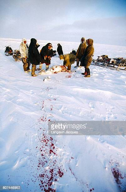 Members of a Dolgan hunting party bring their kill a reindeer to their sleds The Dolgans traditionally a nomadic people who live along the Taymyr...