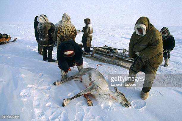 Members of a Dolgan hunting party prepare to butcher a reindeer before transporting it on a sled The Dolgans traditionally a nomadic people who live...