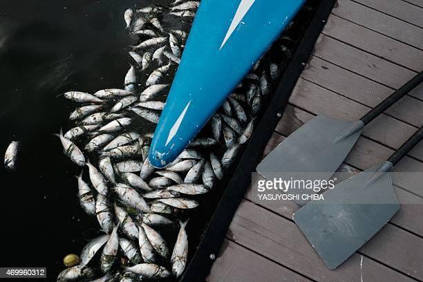 Members of a local rowing club practice among floating dead fish at the Rodrigo de Freitas Lagoon that will host rowing and canoeing events during...