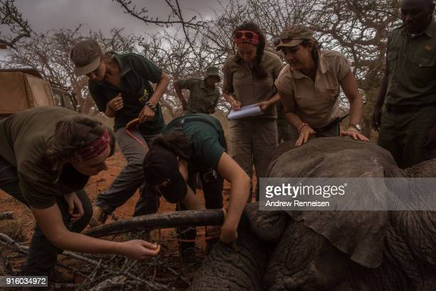 Members of an elephant collaring team from Save The Elephants measure the tusks of Salama a female African Savannah elephant after she was...