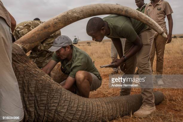 Members of an elephant collaring team from the Tsavo Trust take measurements of Wide Satao a male African Savannah Elephant during an elephant...