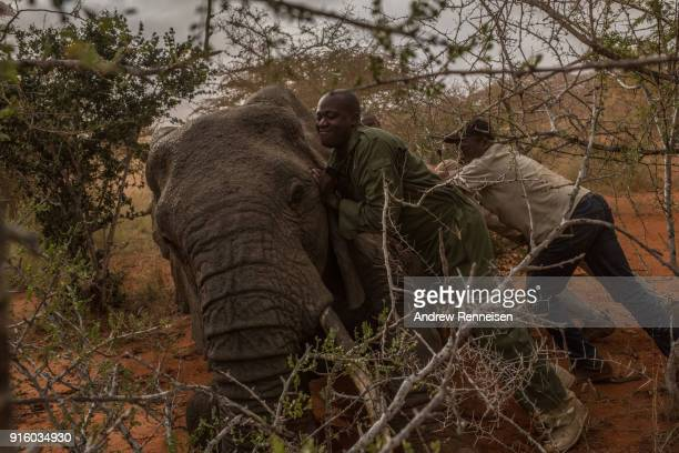Members of an elephant collaring team push Salama a female African Savannah elephant on to her side after she was tranquilized during an elephant...