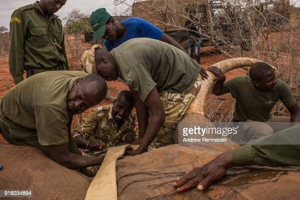 Members of an elephant collaring team work on fitting a collar on Sobo a male African Savannah Elephant during an elephant collaring operation on...