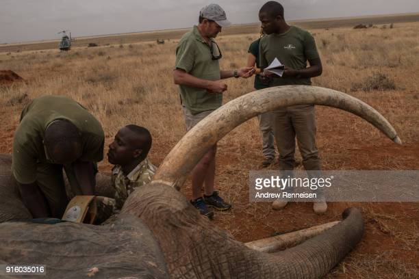 Members of an elephant collaring team work on fitting a collar on Wide Satao a male African Savannah Elephant during an elephant collaring operation...