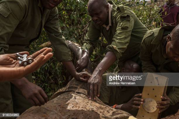 Members of an elephant collaring team work to get a collar around Rob a male African Savannah elephant after he was sedated during an elephant...