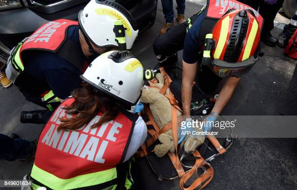Members of the Animal Rescue Team take part in an earthquake drill in Mexico City on September 19 2017 as the country commemorates a new anniversary...