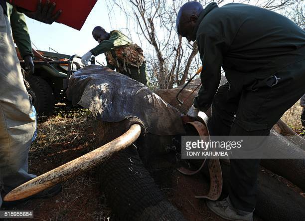 Members of the capture team comprising experts from Kenya Wildlife Services and elephant conservation group Save the Elephants fit a collar on a...