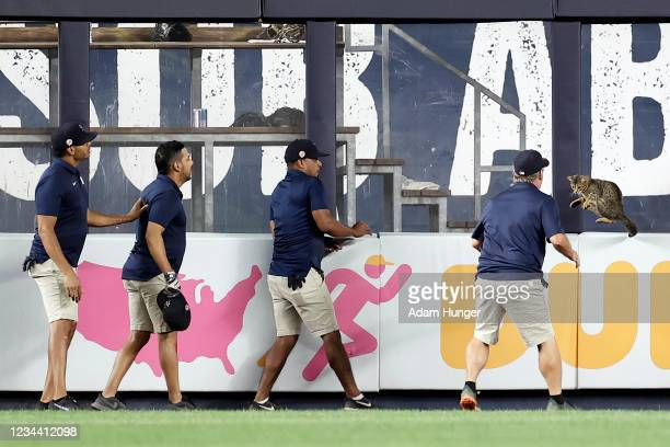 Members of the grounds crew try to catch a cat that got loose on the field during the eighth inning between the Baltimore Orioles and the New York...