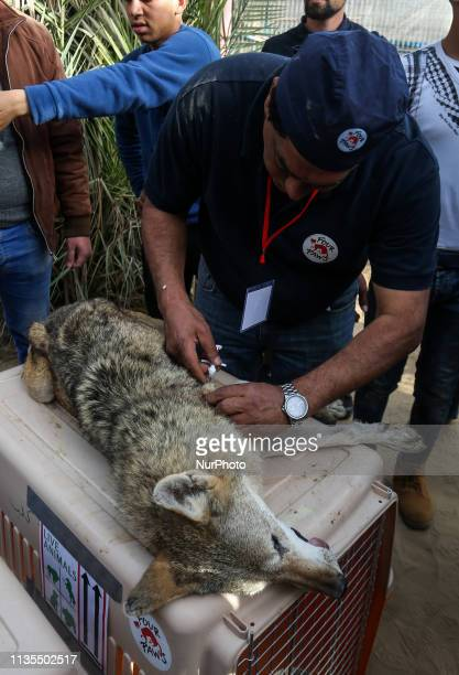 Members of the international animal welfare charity quotFour Pawsquot at a zoo in Rafah in the southern Gaza Strip on April 6 as they prepare to...