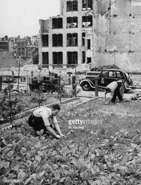 Members of the local Redcross Street National Fire Service station tend to their vegetable allotment garden as a part of the Dig for Victory war...