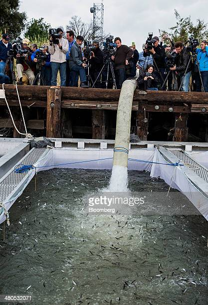 Members of the media watch as Chinook salmon are released into pens in Rio Vista California US on Tuesday March 25 2014 California will begin hauling...