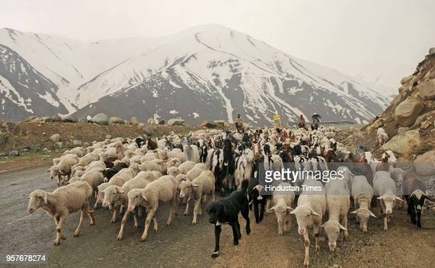 Members of the nomadic Bakerwal community with their flock of sheep cross a road in the mountains enroute to the Mughal Road near Peer ki Gali some...
