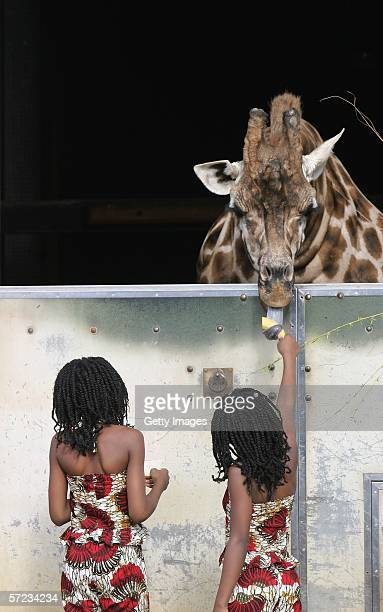 Members of the Nzinga Dance company Marta and Laurinda de Sousa feed a giraffe at the launch of the new state of the art exhibit 'Into Africa' at...