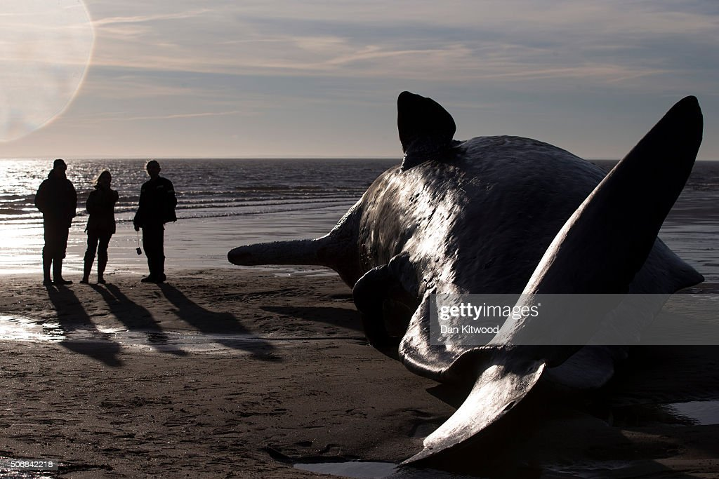 Members of the public look at one of the five Sperm Whales that were found washed ashore on beaches near Skegness over the weekend on January 25, 2016 in Skegness, England. The whales are thought to have been from the same pod as another animal that was found on Hunstanton beach in Norfolk on Friday.