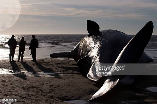 Members of the public look at one of the five Sperm Whales that were found washed ashore on beaches near Skegness over the weekend on January 25 2016...