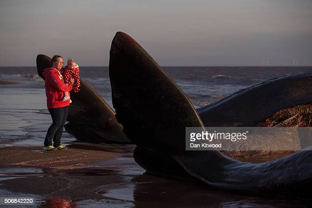 Members of the public look at two of the five Sperm Whales that were found washed ashore on beaches near Skegness over the weekend on January 25 2016...