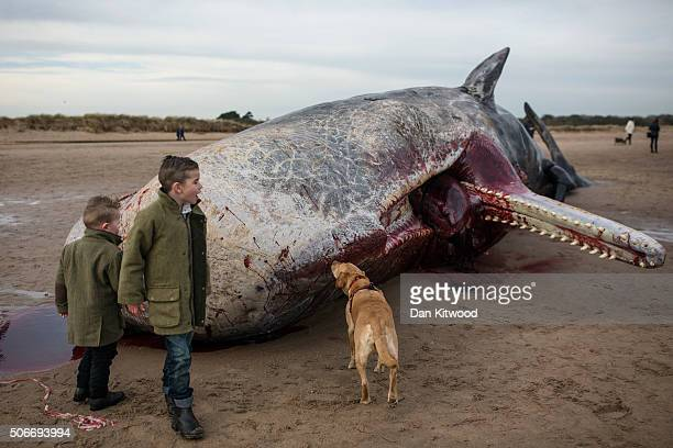 Members of the public walk around one of one of the three Sperm Whales which were found washed ashore near Skegness over the weekend as it lays on a...
