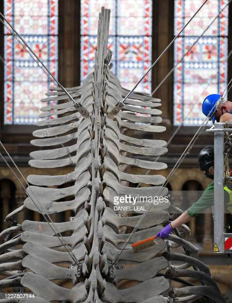 Members of the restoration team clean 'Hope', a skeleton of a blue whale, hanging in the main Hintze Hall of the Natural History Museum in London on...