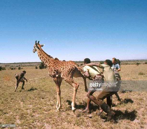 Members of the Tanzanian Wild Life Authority capture a giraffe Tanzanina 1980 The animal was designated for export to a zoo