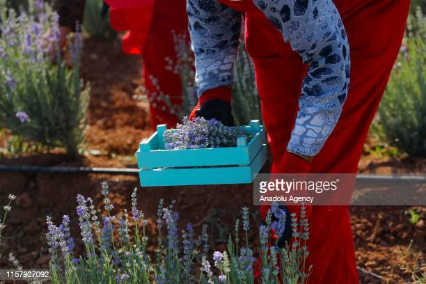 Members of the Turkish Red Crescent harvest lavender in a field in Turkey's southeastern Mardin province on July 26 2019 Lavender was harvested in...