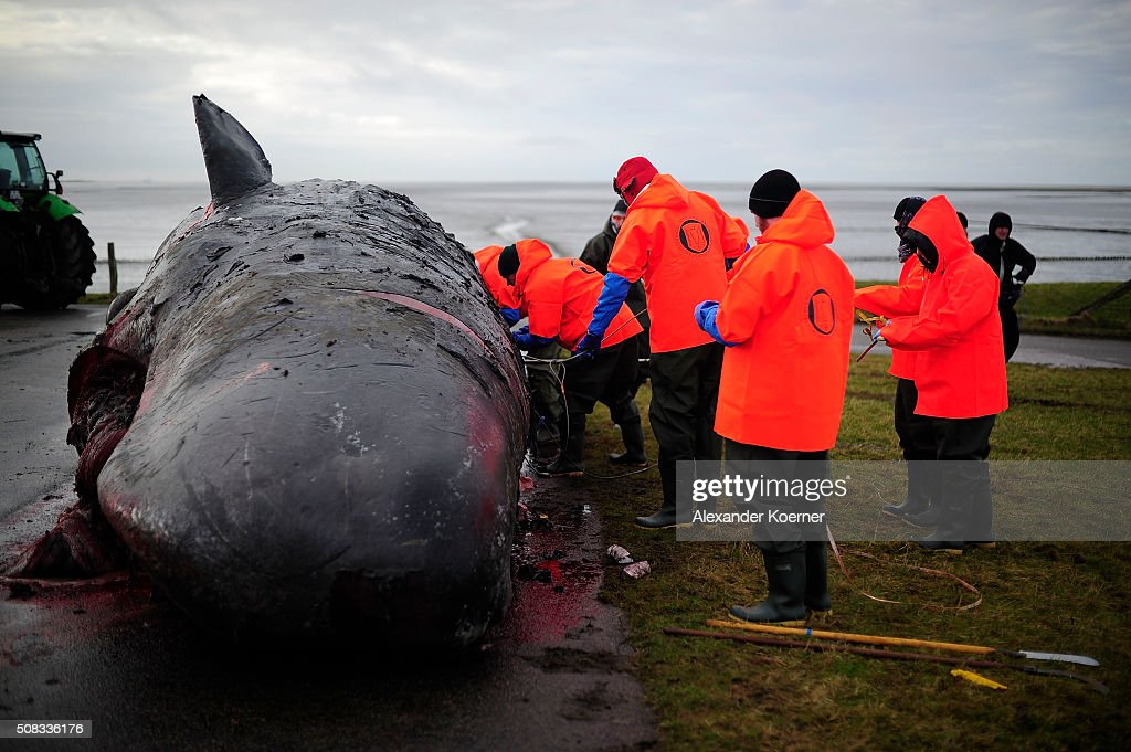 More Dead Sperm Whales Washing Up On German Shores : News Photo
