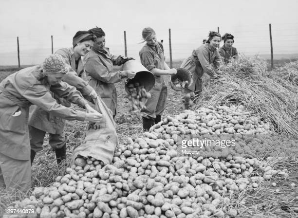 Members of the Women's Land Army stacking and protecting potatoes from frost with layers of straw during the potato harvest on 28th September 1939 on...