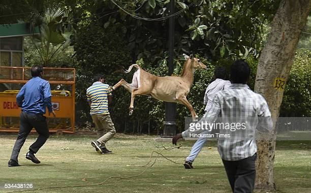 Members of Wildlife SOS India trying to trap Nilgai Calf which strayed near North Block and South Block crossing at the Parliament House on May 26...