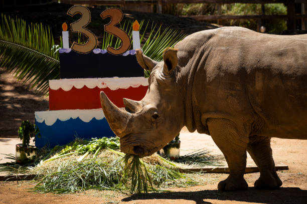 AUS: Southern White Rhino Celebrates 33rd Birthday At Perth Zoo